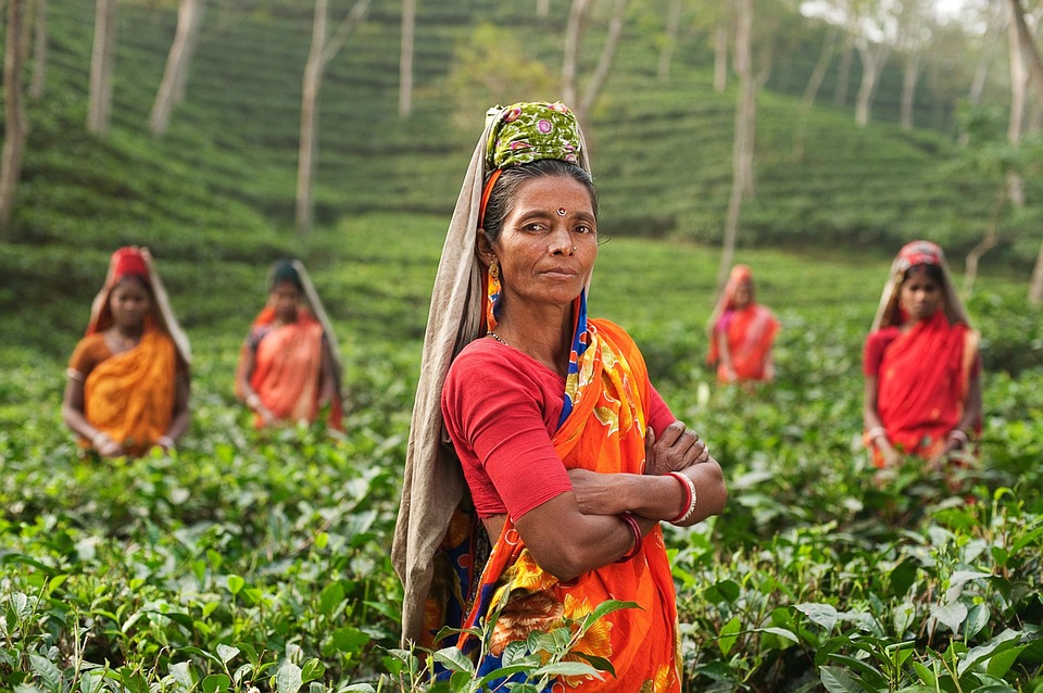 Tea lady, tea farm