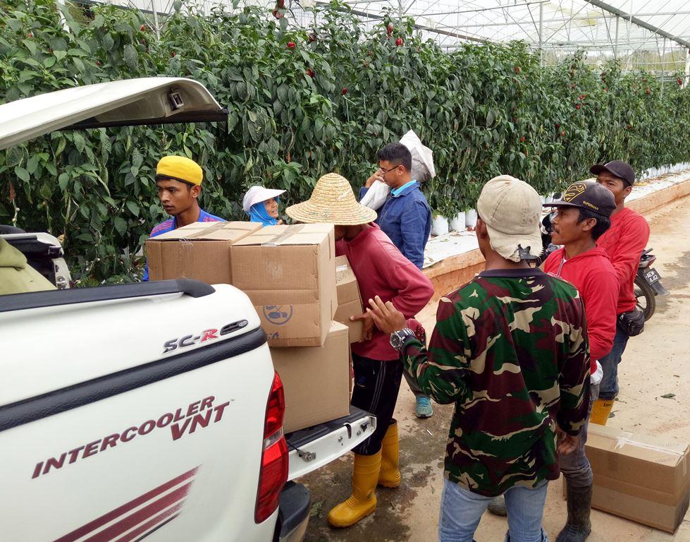 Capsicum harvesting process